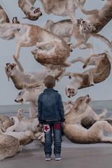 Cai Guo-Qiang: Falling Back to Earth (goodgirlbetty) Tags: art back stuffed wolf gallery earth goma australia falling cai wolves guoqiang