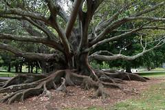 auckland heavy roots 2 4p (Bilderschreiber) Tags: wood newzealand panorama tree nature one pano natur roots auckland northisland strong stark holz baum neuseeland wurzeln nordinsel