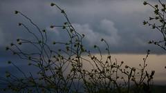 Jaramagos ( Diplotaxis ). Viento y tormenta / Wind and Storm (Jos Rambaud) Tags: africa sunset storm primavera rain clouds atardecer spring lluvia europa cloudy nubes tormenta cloudscape tarifa straitofgibraltar estrechodegibraltar jaramago diplotaxis