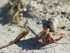 Hermit -crab (Annette Rumbelow) Tags: camera water paradise honeymoon sony caribbeanisland a550 httpwwwcocoplumcaycom annettejimwilson