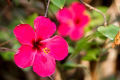 San Joaqun (alejocock) Tags: flores flora colombia bolivar sanjoaquin islafuerte