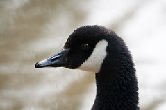 Canada Goose (djshoo) Tags: summer birds nikon bokeh 300mm nottinghamshire 2014