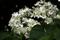 """Tung flowers"" (ddsnet) Tags: plant flower sony cybershot     rx10 maysnow tungflowers"