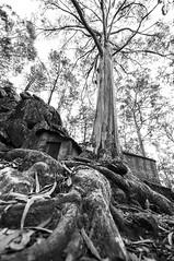 Roots (Rossana Ferreira) Tags: bw white tree portugal de blackwhite ancient nikon roots castro highkey sao braga lourenço esposende nikond90 nikkor1024mm rossanaf rossanaferreira rossanafnet