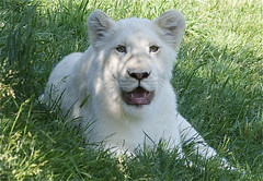 white lion cubby