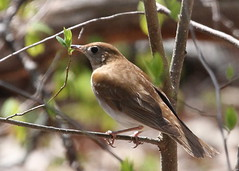 Veery at Allamuchy (Tombo Pixels) Tags: bird newjersey nj deerpark allamuchy veery twb1 allamuchy140067 naturewalk2014