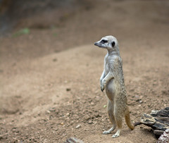 Houston Zoo (Ernie Yang) Tags: zoo meerkat d7100