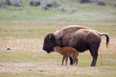 Newborn bison calf, Lamar Valley (Neal Herbert) Tags: park national newborn yellowstone calf bison