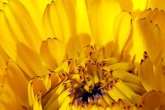 Did you hear something too or .......? (De Rode Olifant) Tags: summer flower macro nature sunshine yellow ngc natuur npc flowerart artinnature greatphotographers themacrogroup sharingart