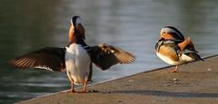 Mandarin Ducks (Aix galericulata) (ccmcentee) Tags: birds lancashire sthelens merseyside aixgalericulata ecclestonmere canon70d