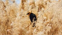Yellow-headed Blackbird (Jim Mullhaupt) Tags: bird nature utah flickr wildlife saratogasprings blackbird phragmites utahlake yellowheadedblackbird mullhaupt jimmullhaupt