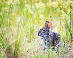 Bunny rabbit! (Wishard of Oz) Tags: statepark summer rabbit bunny sunrise flipflops firstdayofsummer