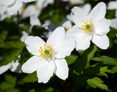 Spring (Martin Kuvat) Tags: wood flowers white flower spring anemone