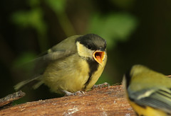 feeeeed meeee... (explored) (Dawn Porter) Tags: bird somerset greattit juvenilegreattit