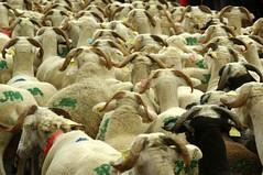 Transhumance en Haut-Salat (Seix/Arige) (PierreG_09) Tags: fte mouton pyrnes pirineos arige brebis transhumance troupeau seix couserans hautsalat