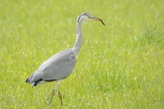Grey Heron With Newt. (stonefaction) Tags: heron nature birds grey scotland fife wildlife great crested charlottetown newt faved