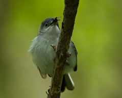 Blue-Gray Gnatcatcher (ramseybuckeye) Tags: life county blue ohio art spring pentax ottawa gray marsh migration gnatcatcher magee 2014