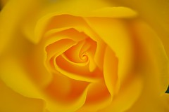 20140511 Mississauga Park 7 (BONGURI) Tags: rose nikon 愛知 aichi 薔薇 kariya バラ afsvrmicronikkor105mmf28gifed 刈谷 d3s mississaugapark ミササガパーク
