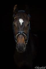 (lebenseindruecke) Tags: portrait horse black pferd backround