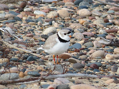 Piping Plover (Whitefish Point) (stinkenroboter) Tags: bird pipingplover whitefishpoint charadriusmelodus