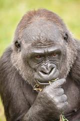 2014-05-02-14h35m16.272P8124 (A.J. Haverkamp) Tags: france zoo gorilla frankrijk dierentuin westelijkelaaglandgorilla stmartinlaplaine espacezoologique canonef500mmf4lisiiusmlens httpwwwespacezoologiquecom ntami dob23072008