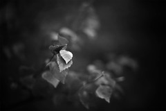 Monochrome leaf (Jonas Tana) Tags: blackandwhite monochrome 50mm leaf canonef50mmf14