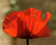 _IAW2828 (IanAWood) Tags: manualfocus hertfordshire rickmansworth d300 flowermacros flowercloseups flowersofspring walkingwithmynikon nikkormicropce85mmf28d
