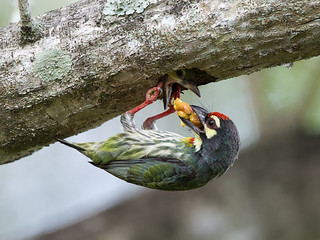 Coppersmith Barbet _ PRP ☺☺