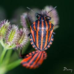 PUNAISE ARLEQUIN (Graphosoma italicum)01 (daumy) Tags: france fleurs rouge noir champs campagne insecte mougins bestiole punaise provencealpescôtedazur