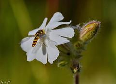The Best Place (Harald52) Tags: tiere natur pflanze wiese blte insekten lichtnelke schwebefliege