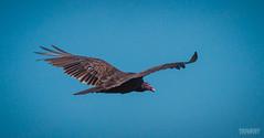 Urubu  Tte Rouge / Turkey Vulture / cathartes aura ((Thanks for Over 2 Million Views!)) Tags: bird pssaro aves ur vulture oiseau vogel pjaro urubu canoneos7d canonef70200mmf28lisiiusm yravaryphotoart