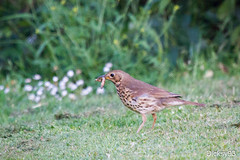 Grive Musicienne (Turdus philomelos) (Dicksy93) Tags: france bird nature animal canon eos 22 brittany song bretagne breizh ave 7d oiseau nourriture ef 100400mm thrush vogel uccello turdus faune grive musicienne philomelos ctes darmor saintalban img4801 turdids dicksy93