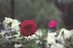 Queen (175/365) (istar_world) Tags: flowers red espaa white rose canon garden hearts photography spain alice queen 7d 365 wonderland burgos 365days 365project estherestoa