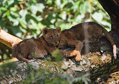 Lion cubs in a tree. (Rainbirder) Tags: kenya africanlion lakenakuru pantheraleoleo rainbirder