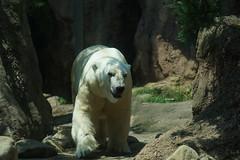 Polar Bear at Yokohama Zoorasia 2014-07-26 (kuromimi64) Tags: bear japan zoo polarbear yokohama kanagawa     zoorasia     yokohamazoologicalgardens
