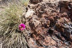 Mark 376a (markbyzewski) Tags: arizona flower ugly petrifiedforestnationalpark petrifiedwood pricklypearcactus