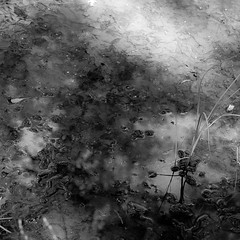 Murky Shallows (noahbw) Tags: blackandwhite bw abstract reflection water monochrome forest square blackwhite spring woods nikon natural swamp explored hellernaturecenter d5000 noahbw