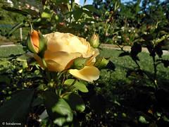 """Graham Thomas"" - David Austin Roses (boisderose) Tags: roses rose july rosa rosegarden trieste roseto luglio 2014 grahamthomas davidaustinroses roseinglesi boisderose parcodisangiovanni"