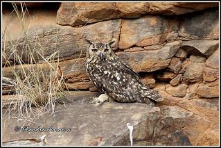 4276 - eurasian eagle owl
