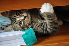 DSC_0129 (olivia c g) Tags: cats cat kitten kittens