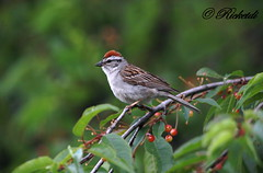 Bruant Familier - Chipping sparrow (ricketdi) Tags: ngc npc sparrow chipping familier bruant chippingsparrow spizellapasserina bruantfamilier coth5 sunrays5