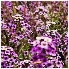 Sweet alyssum fields (giltay) Tags: flowers closeup holga sweetalyssum lobulariamaritima topw hltc torontophotowalks topwhpdw torontophotowalkshighparknorthanddupontwest