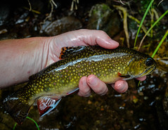 Native Brook Trout (GRousedog20) Tags: brook flyfishing trout