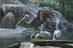 A pelican taking flight (liu.theo1) Tags: fish newyork tree bird nature water beauty animal animals zoo log rocks branch bronx pigeon gull beak large samsung pelican fallen bronxzoo seabird nx2000 2050mm samsungnx2000
