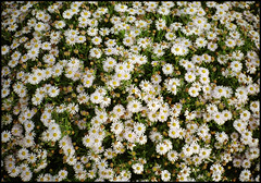 Kyocera Contax T2  DM Paradies 200 (01) (Hans Kerensky) Tags: flowers 120 film up close scanner contax 200 kyocera dm t2 paradies plustek opticfilm anywhitefieldtagbyflickrsspamtagbot