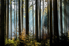 Into the Forest (*Capture the Moment*) Tags: 2016 forest licht lichtstrahlen light lightbeam rayoflight sonnenstrahlen sonya7m2 sonya7mii sonya7mark2 sonya7ii sonyfe2470mmf4zaoss sonyilce7m2 wald winter