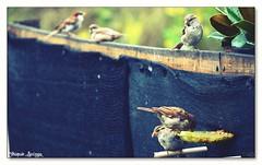 esperando turno. (_Joaquin_) Tags: flickr uruguay canelones nikon d3200 joaquinlapizaga joafotorgafia joalc fotografia nikor18140mm dx ed aves comiendo pajaritos gorrion comedero alpiste airelibre libres teleobjetivo