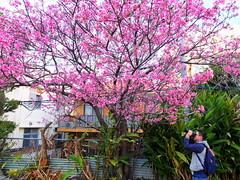 Spring @ Okinawa (stardex) Tags: spring blossom bloom flower sakura plant flora floral photographer pink okinawa japan naha