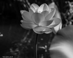 Monochrome Petals (that_damn_duck) Tags: blackandwhite monochrome nature plant flower petals blossom blooming bw blackwhite