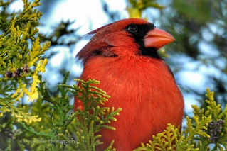 Very Handsome Male Cardinal